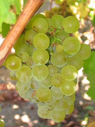 Sauvignon Blanc druif